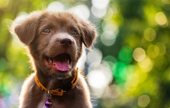 Picture cute, puppy, light, Labrador, puppy, dog, bokeh, cute