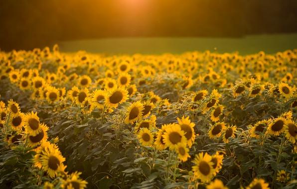 Picture summer, light, morning, podsolnuhi