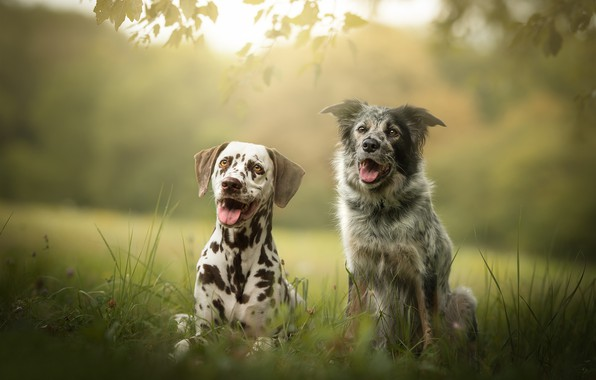 Picture dogs, friends, bokeh, two dogs
