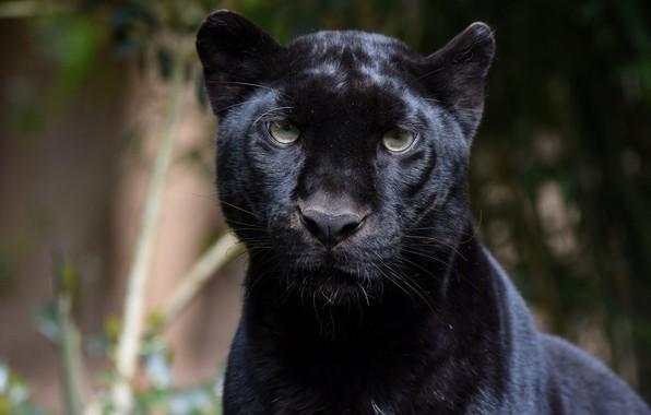 Picture face, portrait, predator, Panther, wild cat, zoo, black leopard