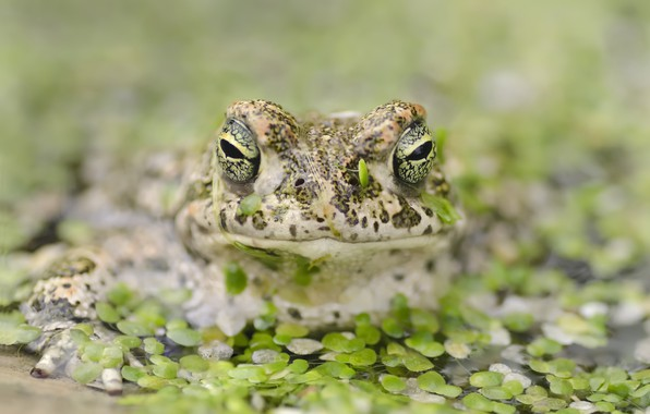 Picture nature, pond, frog