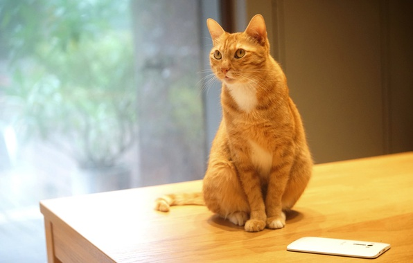 Picture cat, white, cat, look, glass, pose, table, wall, window, red, office, sitting, electronics, gadget, friendly, …