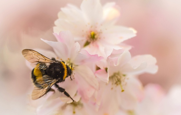 Picture flower, nature, petals, garden, insect, bumblebee