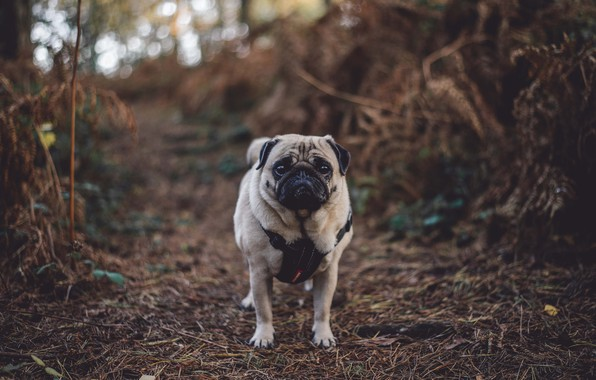 Picture autumn, forest, dog, pug, forest, dog, autumn, pug