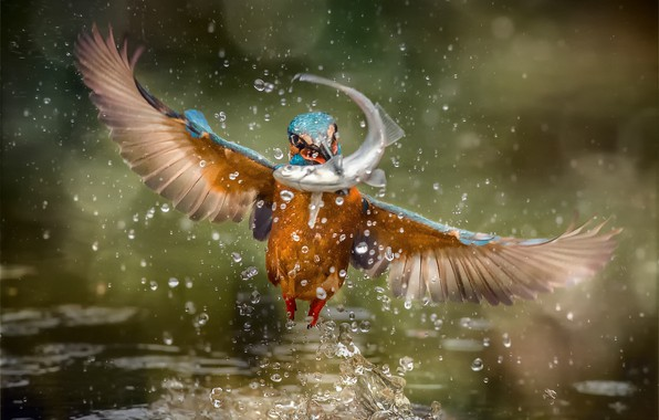 Picture squirt, bird, fish, Kingfisher, kingfisher, catch
