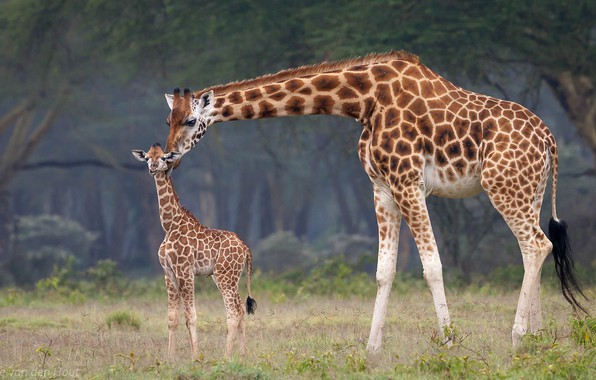 Picture baby, giraffes, Africa, mom