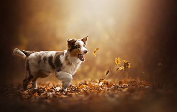 Picture autumn, leaves, puppy, dog, Akela