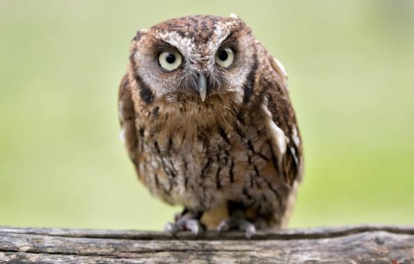 Picture birds, owl, Scops owl, ordinary scoop