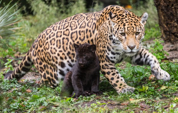Picture cats, nature, baby, mom, jaguars