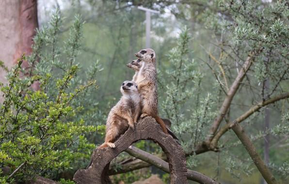 Picture Family, Meerkats, Guardians