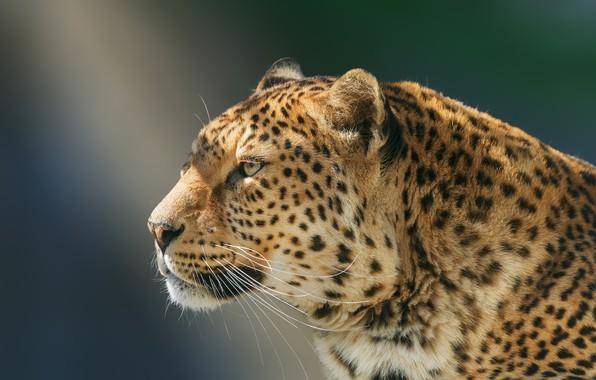 Picture look, face, background, portrait, leopard, profile, wild cat, handsome