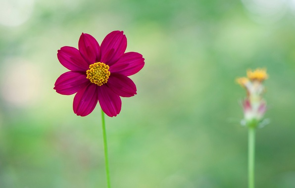 Picture nature, plant, petals, stem, Dahlia