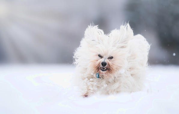 Picture snow, dog, walk, bokeh, The Havanese, shaggy