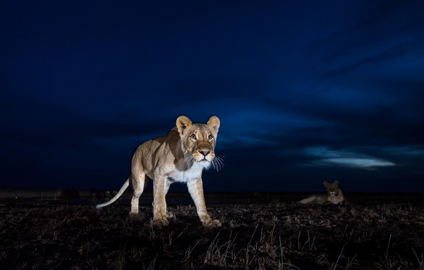 Picture night, animals, lions