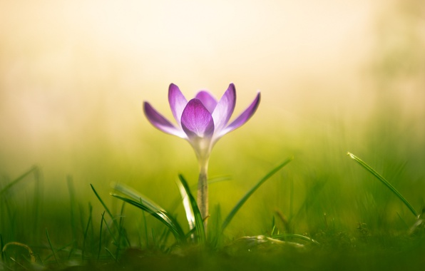 Photo wallpaper Krokus, macro, saffron