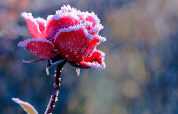 Picture frost, scarlet rose, blur bokeh