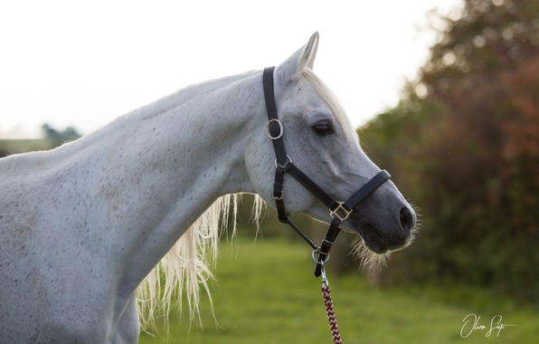Picture face, horse, horse, profile, halter