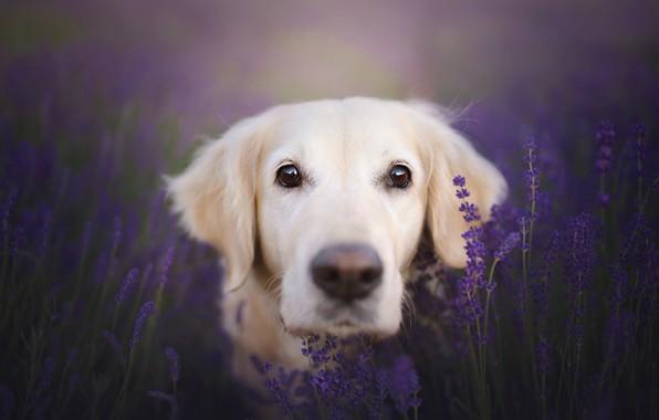 Picture look, face, dog, lavender, bokeh, Golden Retriever, Golden Retriever