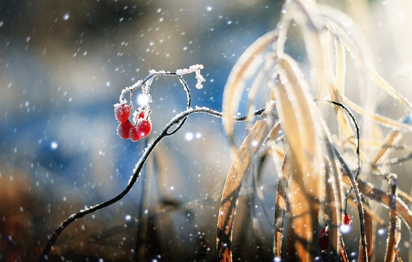 Picture winter, snow, berries