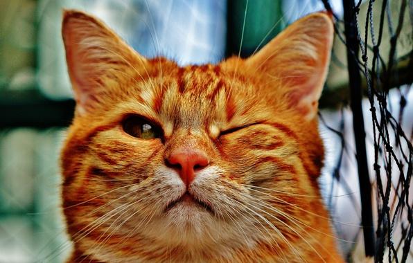 Photo wallpaper cat, cat, red, pet