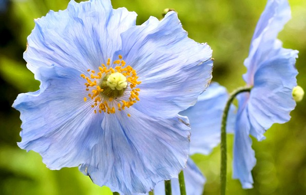 Picture summer, flowers, background, petals, stamens, blue poppies