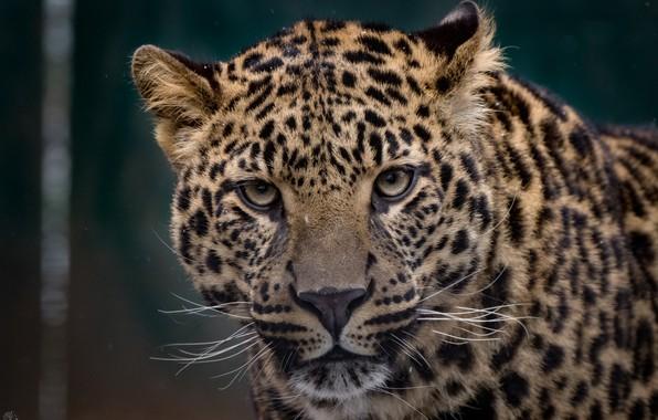 Picture face, spot, leopard