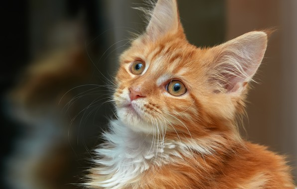 Picture look, portrait, red, muzzle, kitty, Maine Coon