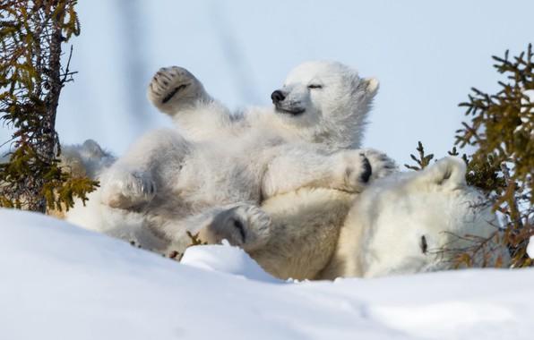 Picture winter, snow, stay, sleep, bear, chill, polar bears, bear, polar bears