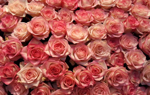 Picture flowers, rose, roses, petals, pink, buds, a lot