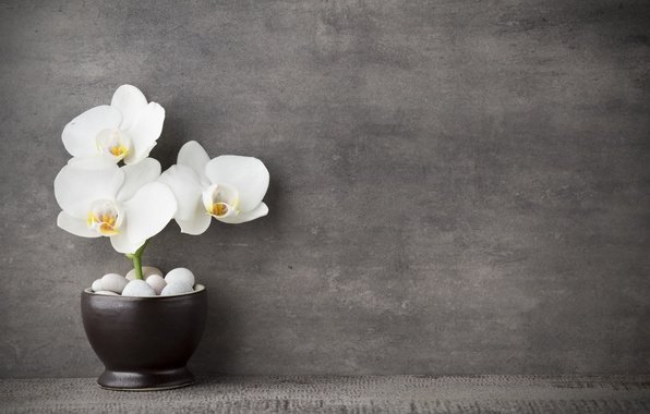 Picture white, Orchid, flowers, orchid