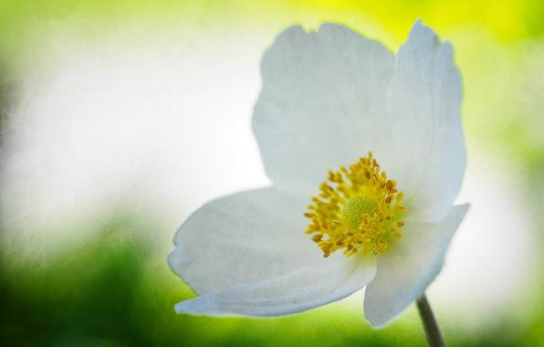 Picture flower, petals, anemonastrum