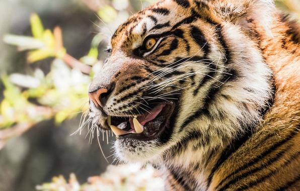 Picture face, tiger, portrait, fangs, grin, profile, wild cat