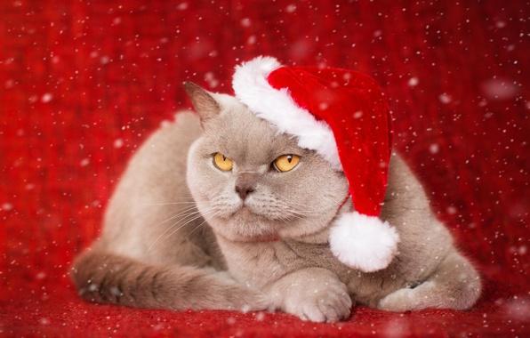 Picture cat, background, portrait, cap, serious, British Shorthair