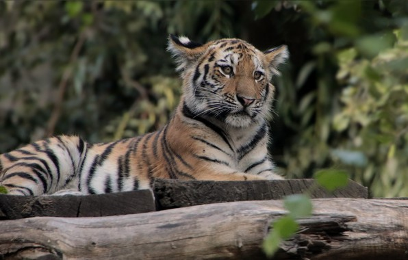 Picture nature, tiger, animal, stay