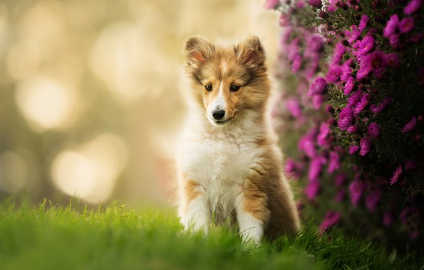 Picture flowers, puppy, bokeh, Sheltie, Shetland Sheepdog