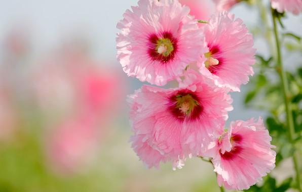 Picture macro, pink, petals, bokeh, Mallow