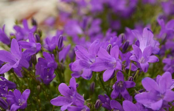 Picture Flowers, Bokeh, Purple flowers, Purple flowers