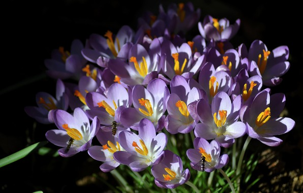 Picture insects, spring, Crocuses, Saffron