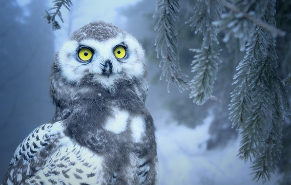 Picture winter, forest, eyes, snow, owl, bird