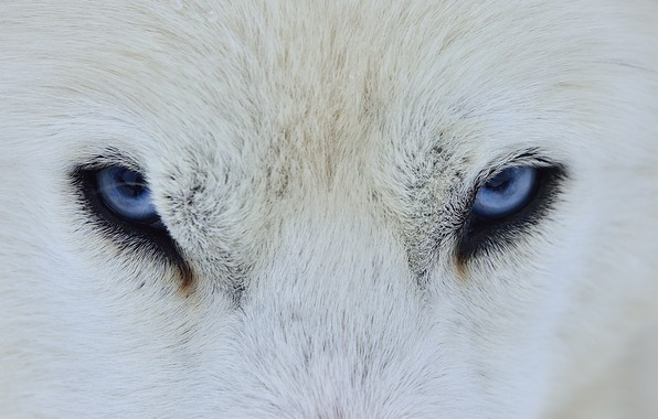 Picture eyes, wolf, dog, wool