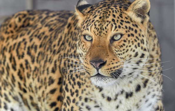 Picture look, Leopard, portrait, predator, wild cat