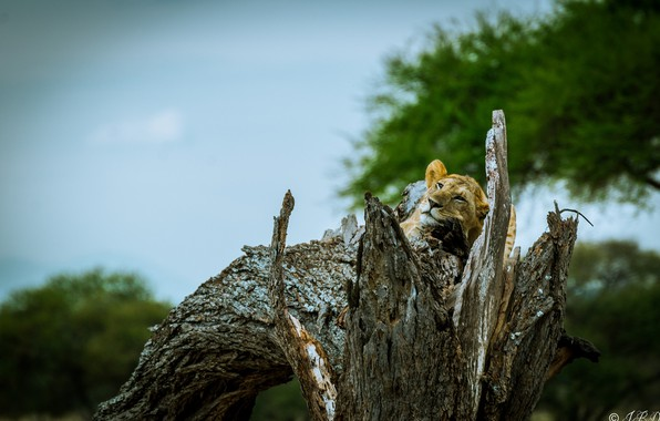 Picture face, predator, lies, lioness, wild cat