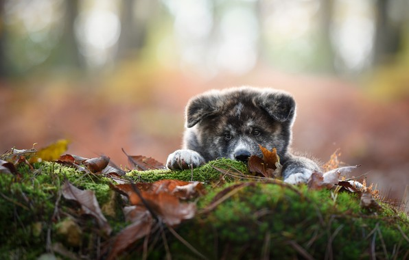 Picture look, leaves, moss, dog, puppy, face, bokeh, Akita inu