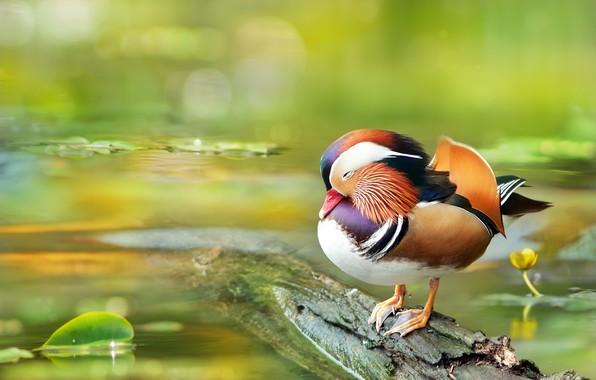Photo wallpaper bird, water, Tangerine, duck