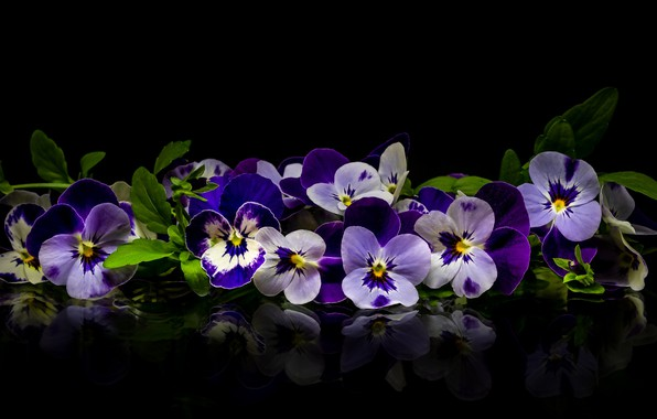 Picture reflection, Pansy, viola