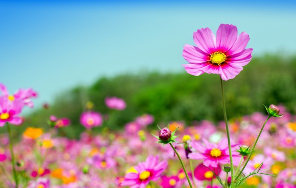 Picture field, summer, the sky, the sun, flowers, summer, pink, field, pink, flowers, cosmos