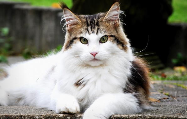 Picture cat, look, fluffy