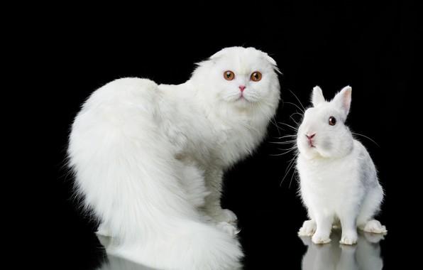 Picture cat, look, portrait, rabbit, white, black background, fluffy, Natalia Lays