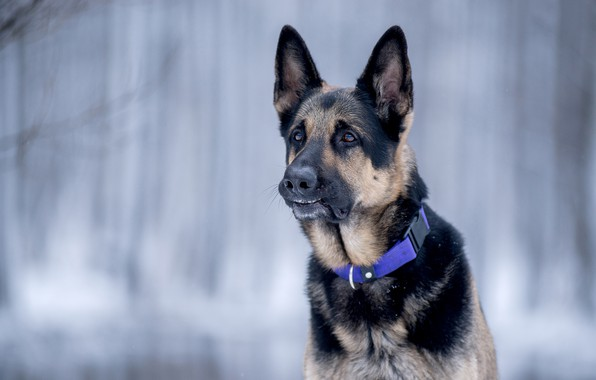 Picture face, background, portrait, dog, bokeh, German shepherd
