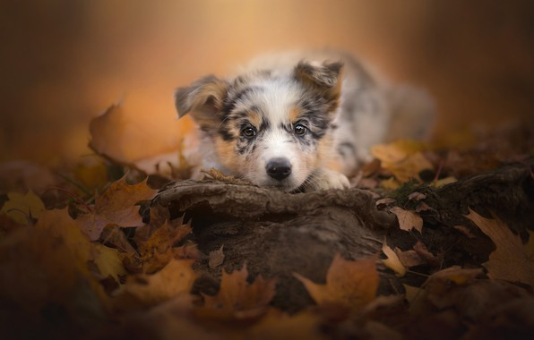 Picture autumn, look, leaves, puppy, face, doggie, Australian shepherd